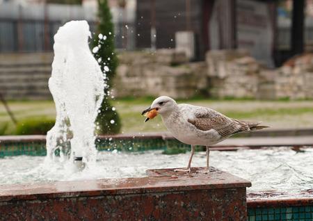 Seagull eating bread near fountain Stok Fotoğraf