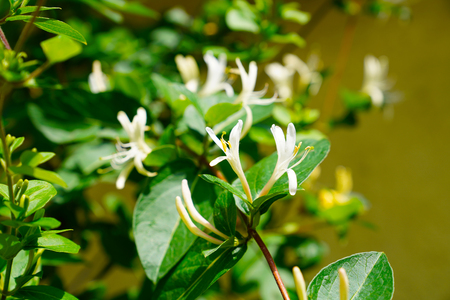 Lonicera japonica Thunb or Japanese honeysuckle yellow and white flower in garden. Stok Fotoğraf