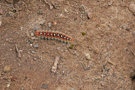 Caterpillar of the yellow tail moth euproctis similis 스톡 콘텐츠