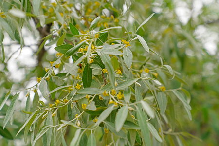 Elaeagnus commutata, the silverberry or wolf-villas pale green leaves with yellow flowers