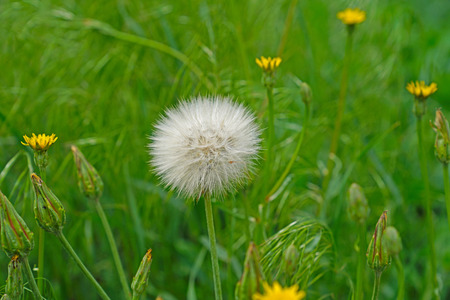 Dandelion flower with seeds ball close up in green background horizontal view Banco de Imagens