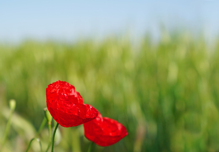 Selective focus of red poppies flowers blossom on wild field