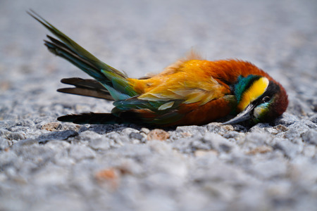 Dead bird bee eater merops apiaster lying on road