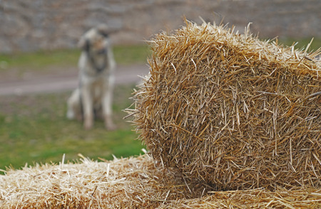 Blurred gray stray dog sitting and looking behind from hay bales.
