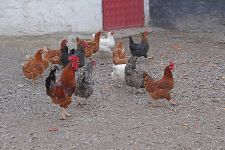 Angry rooster and colorful hens together