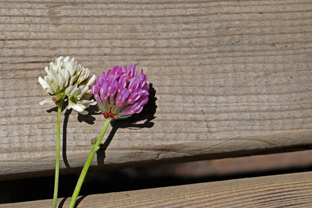 Red (purple) and white clover flowers together on brown wooden table