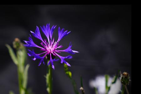 Detail of purple mountain cornflower in black background