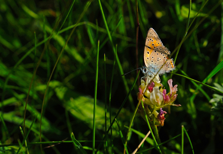 Black potted red cracker butterfly sitting on green grass