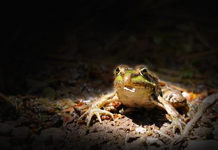 Green frog on river aquatic plants in black background Stok Fotoğraf