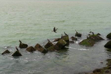 Group of three great cormorants (Phalacrocorax carbo) perched on a black rock at sea Ijmuiden, Holland, The Nederlands wildlife at the seaside