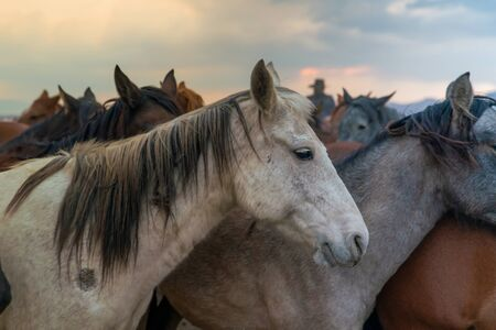 Closeup of horses and western cowboy in background in evening