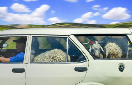 Eskisehir/Turkey-June 30 2019: Man driver transport goats in his car. Funny transportation in rural area.
