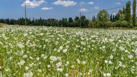 Opium poppies with white flowers growing in Afyonkarahisar, Turkey