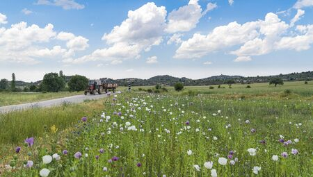 Opium poppies with white and purple flowers growing in field and a tractor on the way in Afyonkarahisar, Turkey
