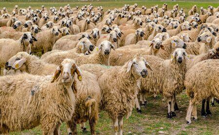 Sheep herd on grass looking across, Konya, Turkey