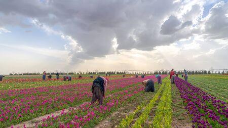 Konya, Turkey-March 14 2019: Women workers in tulip fields, tulip farm