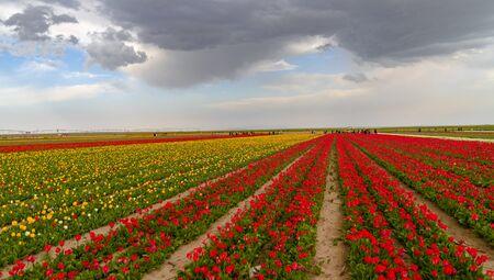 Konya, Turkey-March 14 2019: Colorful tulip fields, tulip farm