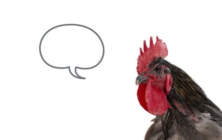 Black rooster on isolated white background with speech bubble
