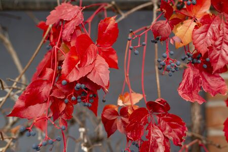 Branch of maiden grapes, known as Virginia creeper with autumn leaves hanging down on blurred gray wall