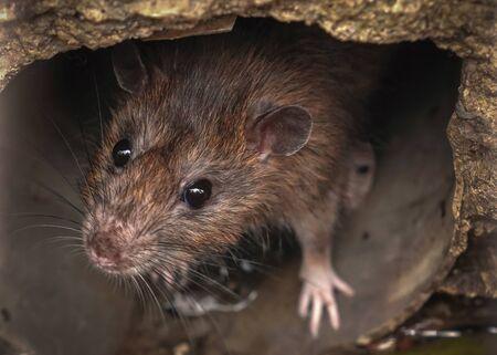 Closeup of rat on a sewer