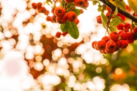 Berries of scarlet firethorn (pyracantha coccinea) in autumn season and bokeh abstract light in background