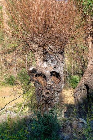 Tree trunk resembling a monkey's head