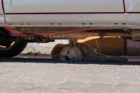Stray dog is sleeping in the hot summer day under the car. Stock Photo