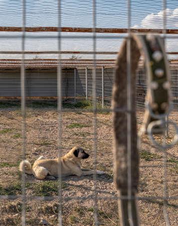 Beautiful anatolian shepherd dog (sivas kangal kopek/kopegi) is lying, sitting behind cage and dog collar hangs on the fence in a dog farm im Kangal city, Sivas Turkey.