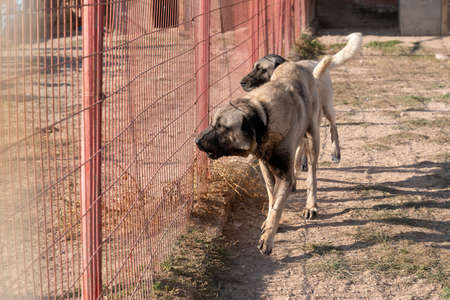 Two beautiful anatolian shepherd dogs (sivas kangal kopek/kopegi) pace, walks behind cage in a dog farm im Kangal city, Sivas Turkey.