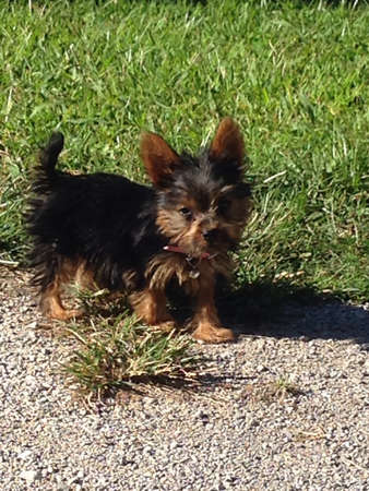 3 month: 3 month old yorkie puppy