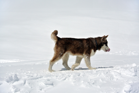 Eskimo dog on Elbrus