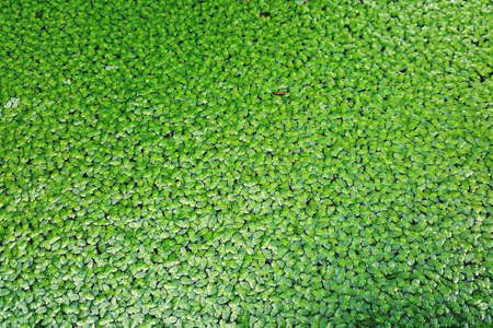Closeup of duckweed floating plants floating green water surface background as the black water. Green natural texture.