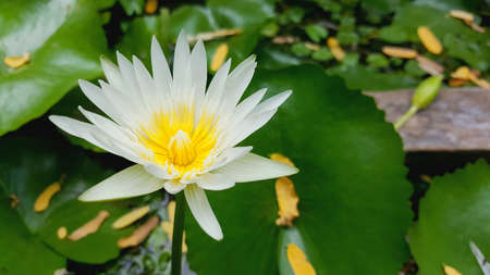 A beautiful white lotus in graden. Close up lily water flower in pond, natural background.