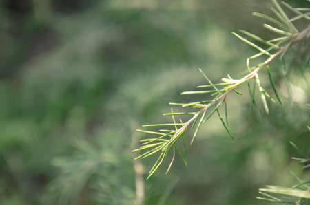 Close up Branch of pine in soft focus on blurry green pines tree background. Beautiful natural scenery background. Nature early spring concept.