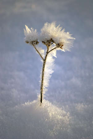 Lonely frozen flower in ice cold conditions Stock Photo - 8695675