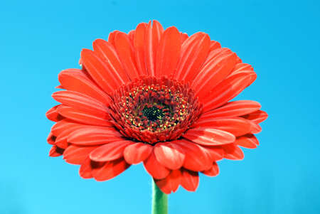 barberton daisy: Close-up of Gerbera also known as African Daisy, Transvaal Daisy, and Barberton Daisy
