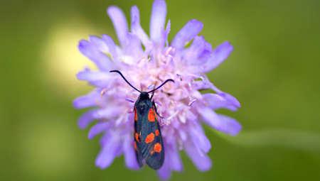 arvensis: Colorful close-up on burnet sitting on Knautia Arvensis Stock Photo