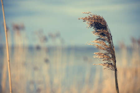 Close up of reed against water and sky Stock Photo - 13627975