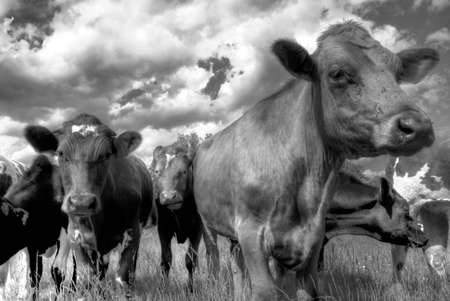 hdr: Black and white hdr photo of cows grazing