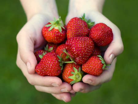 Girl holding strawberries  Fragaria x ananassa   in her hands Stock Photo