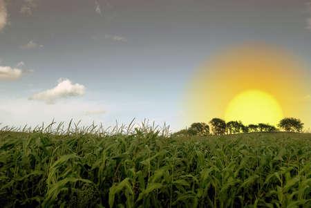 cornfield: Cornfield and sunrise against a blue summer sky