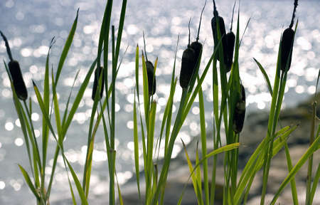 cattails: Summer picture of the coast with cattails in the foreground and the sea with nice bokeh in the background