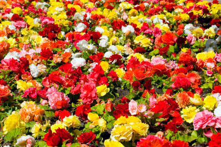 Field full of begonias, colorful summer image photo