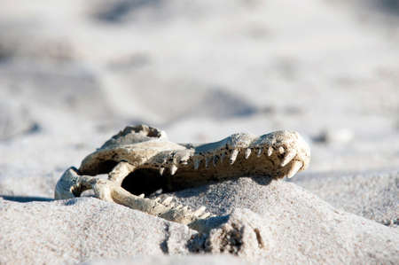 Close-up of crocodile skull in sand dunes photo
