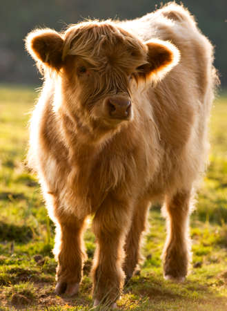 Highland cattle calf in evening light photo