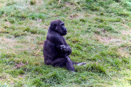 Young gorilla scratching its back with stick