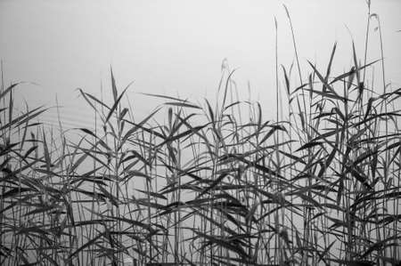 bulrushes: Reed against water, black and white photography Stock Photo