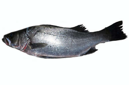 Lateolabrax latus