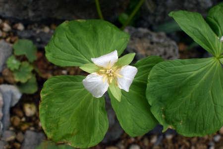 trillium: Trillium camschatcense Stock Photo