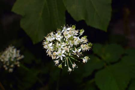 White flower clusters of fernleaf dropwort stock photo picture and stock photo white flower clusters of fernleaf dropwort mightylinksfo